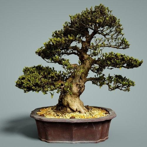 Bonsai tree you can look indoor trees you can look chinese elm bonsai you can look bonsai tree types