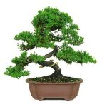 : Bonsai tree you can look jade plant bonsai you can look bonsai indoor you can look willow bonsai