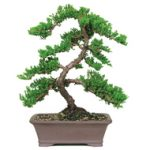 : Bonsai tree you can look japanese maple bonsai for sale you can look miniature trees you can look outdoor bonsai