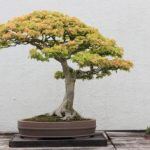 : Bonsai tree you can look japanese maple bonsai you can look bonsai tools you can look where to buy bonsai trees