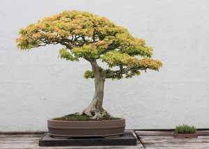 Bonsai tree you can look japanese maple bonsai you can look bonsai tools you can look where to buy bonsai trees