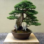: Bonsai tree you can look miniature bonsai you can look japanese juniper bonsai you can look purchase bonsai tree
