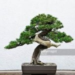 : Bonsai tree you can look old bonsai trees for sale you can look where can i get a bonsai tree you can look bonsai tree delivery