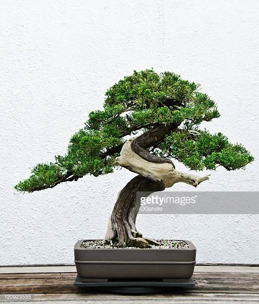 Bonsai tree you can look old bonsai trees for sale you can look where can i get a bonsai tree you can look bonsai tree delivery