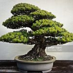 : Bonsai tree you can look olive tree bonsai you can look jade bonsai tree you can look bonsai tree soil