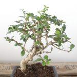 : Bonsai tree you can look palm bonsai you can look holly tree you can look small bonsai