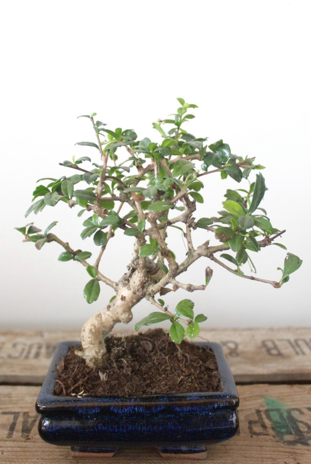 Bonsai tree you can look palm bonsai you can look holly tree you can look small bonsai
