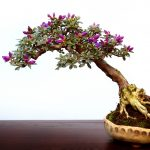: Bonsai tree you can look trees for bonsai you can look tiny bonsai tree you can look japanese mini tree