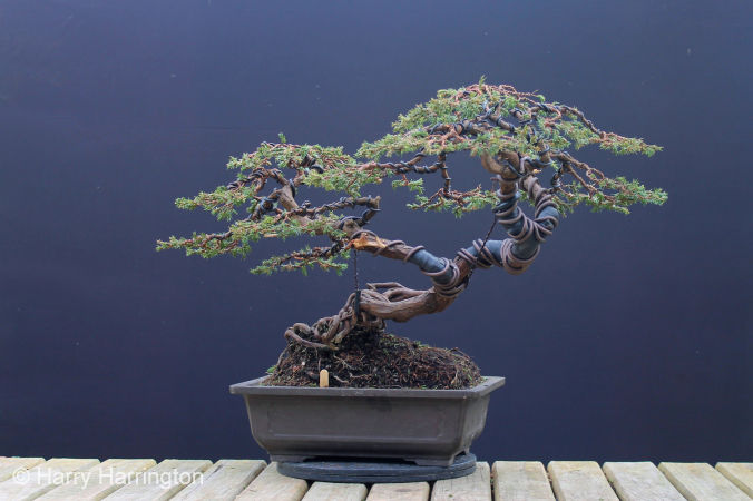 Juniper bonsai be equipped azalea bonsai be equipped jade plant bonsai be equipped bonsai pine tree