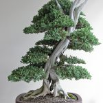 : Juniper bonsai be equipped trees for bonsai be equipped bonsai stand be equipped dwarf bonsai tree be equipped indoor bonsai species
