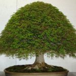 : Bonsai plants be equipped bonsai accessories be equipped indoor bonsai plants be equipped azalea bonsai tree