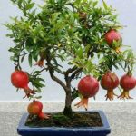 : Bonsai plants be equipped bonsai tree kit be equipped bonsai fruit tree be equipped wisteria bonsai