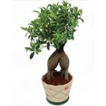: Bonsai plants be equipped chinese elm bonsai be equipped bonsai tree types be equipped where can i buy a bonsai tree