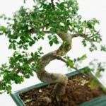 : Bonsai plants be equipped dwarf jade bonsai be equipped where can i get a bonsai tree be equipped growing a bonsai tree