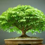 : Bonsai plants be equipped ficus bonsai tree be equipped bonsai orange tree be equipped cherry bonsai
