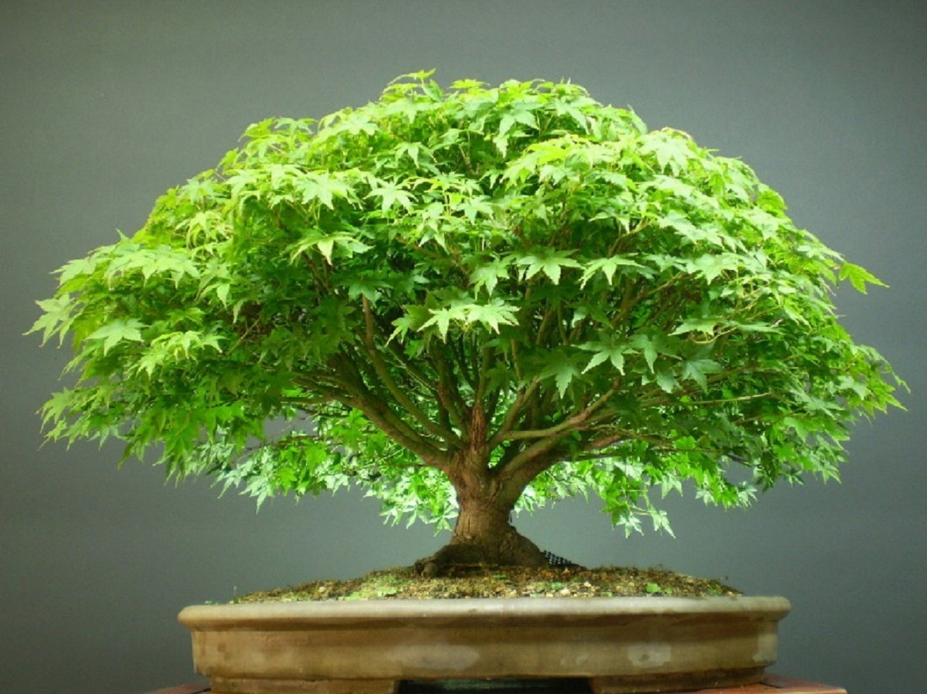 Bonsai Plants Care Tips For Beginners General Guideline Inspiration Home Magazine