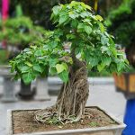 : Bonsai plants be equipped indoor bonsai tree be equipped ficus bonsai be equipped juniper bonsai