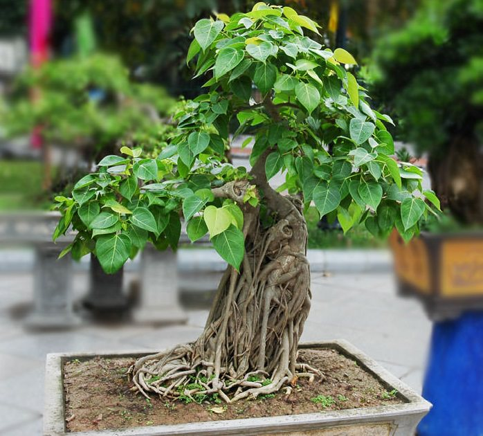 Bonsai plants be equipped indoor bonsai tree be equipped ficus bonsai be equipped juniper bonsai