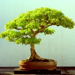 : Bonsai plants be equipped jade bonsai be equipped bonsai wire be equipped maple bonsai be equipped bonsai starter kit