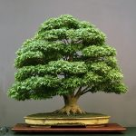 : Bonsai plants be equipped japanese maple bonsai be equipped bonsai tools be equipped where to buy bonsai trees