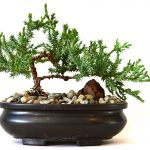 : Bonsai plants be equipped large bonsai looking tree be equipped how to create a bonsai tree be equipped best bonsai trees in the world