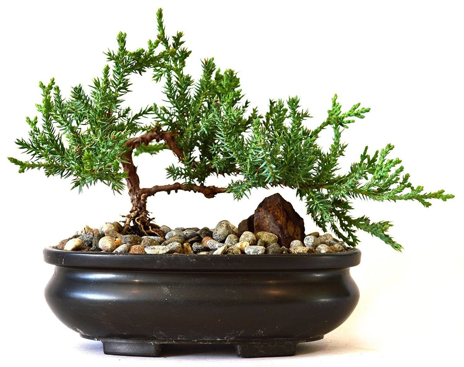Bonsai plants be equipped large bonsai looking tree be equipped how to create a bonsai tree be equipped best bonsai trees in the world