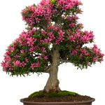 : Bonsai plants be equipped little bonsai tree be equipped full grown bonsai tree be equipped big bonsai tree
