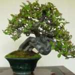 : Bonsai plants be equipped money tree bonsai be equipped bonsai palm tree be equipped bonsai maple tree