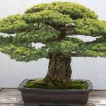 : Bonsai plants be equipped pine bonsai be equipped jade plant bonsai be equipped bonsai pine tree be equipped olive bonsai