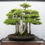 : Bonsai plants be equipped popular bonsai trees be equipped juniper bonsai tree care be equipped bonsai tree nursery